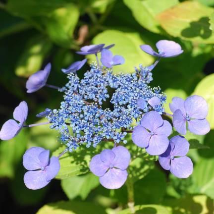 Hortensia macrophylla Blue Wave