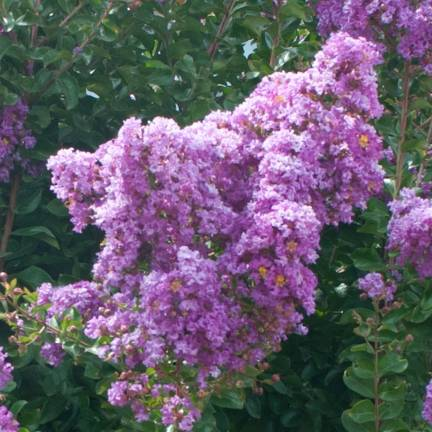 Lilas des Indes speciosa Violet