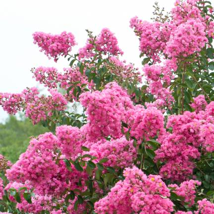 Lilas des Indes indica Rose
