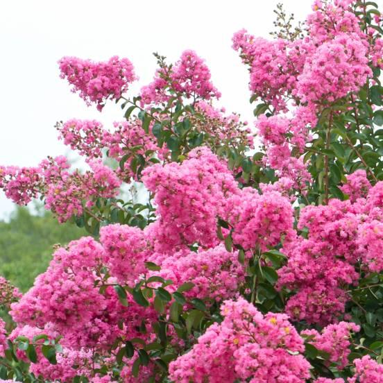 Lilas des Indes indica Rose