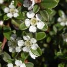 Cotoneaster dammeri Eichholz no 1