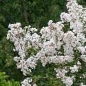Lilas des Indes indica Nivea