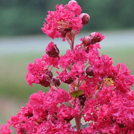 Lilas des Indes indica Braise d'été® 'Indybra'