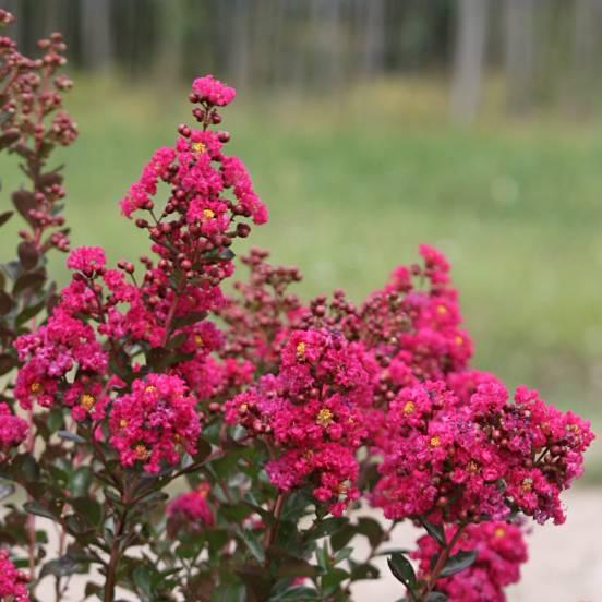 Lilas des Indes indica Fuchsia d'été® 'Indyfus'
