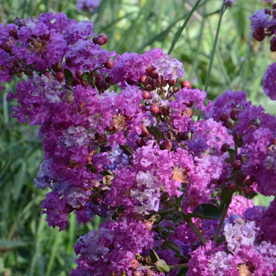 Lilas des indes indica violet d 39 t 39 indyvio 39 - Lilas des indes blanc ...