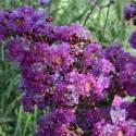 Lilas des Indes indica Violet d'été® 'Indyvio'