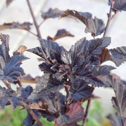 Physocarpe à feuilles d'obier opulifolius Tiny Wine®