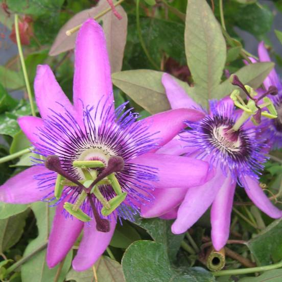 Passiflore x Lavender lady