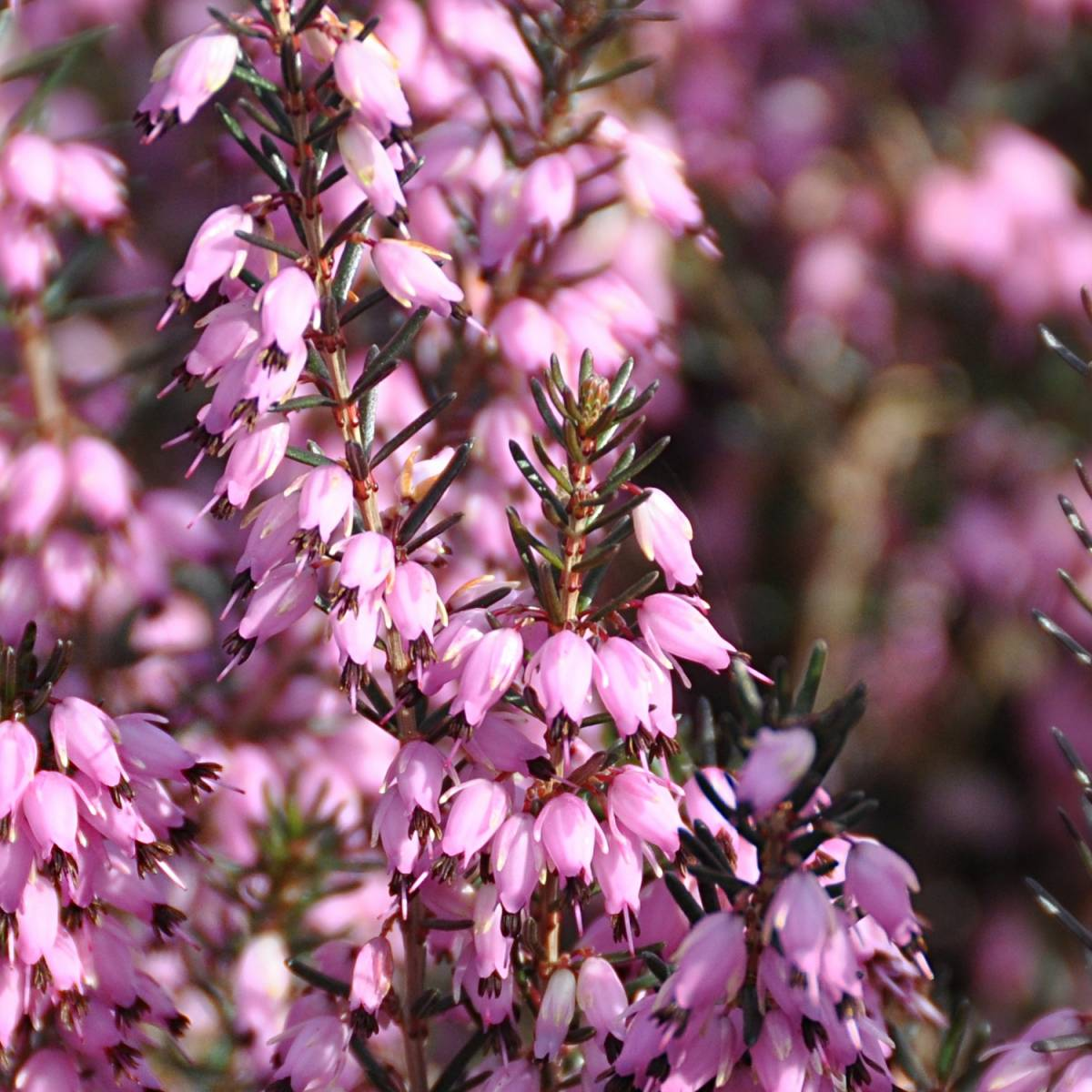Bruyère d'hiver darleyensis Spring Surprise