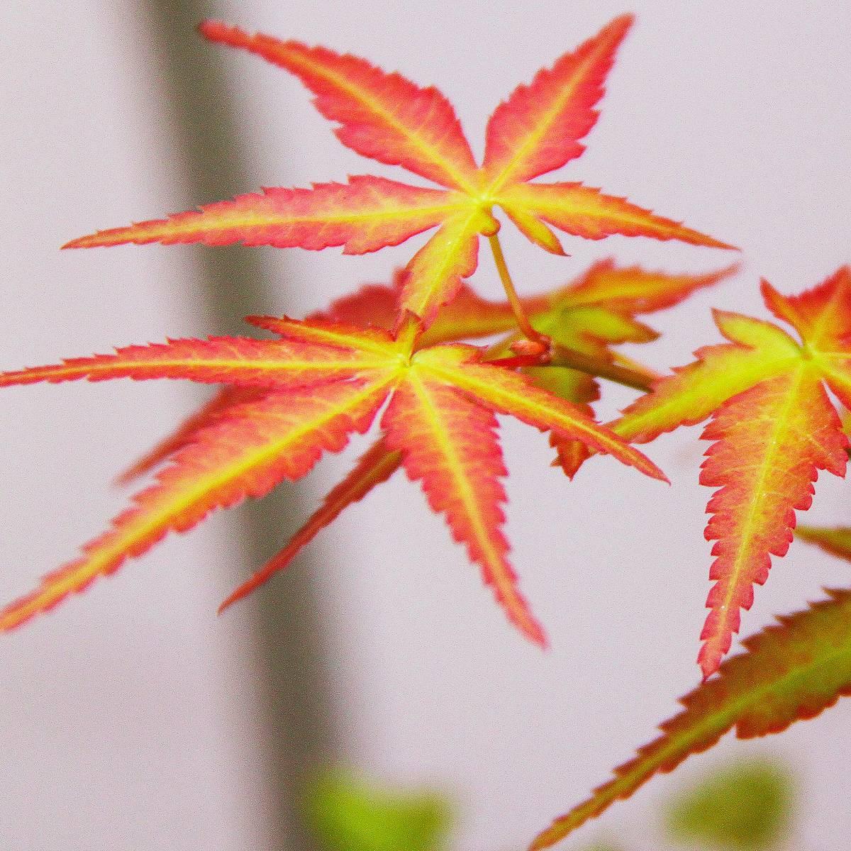 Rable palm palmatum little princess - Sapin en pot jardiland ...