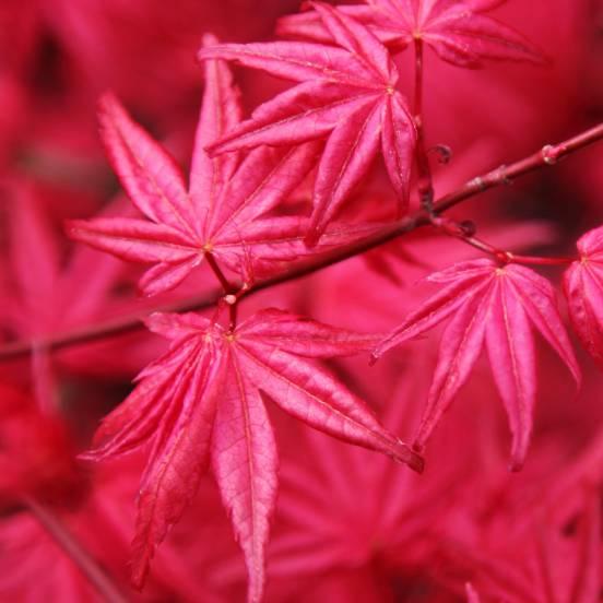 Érable palmé palmatum Osakazuki