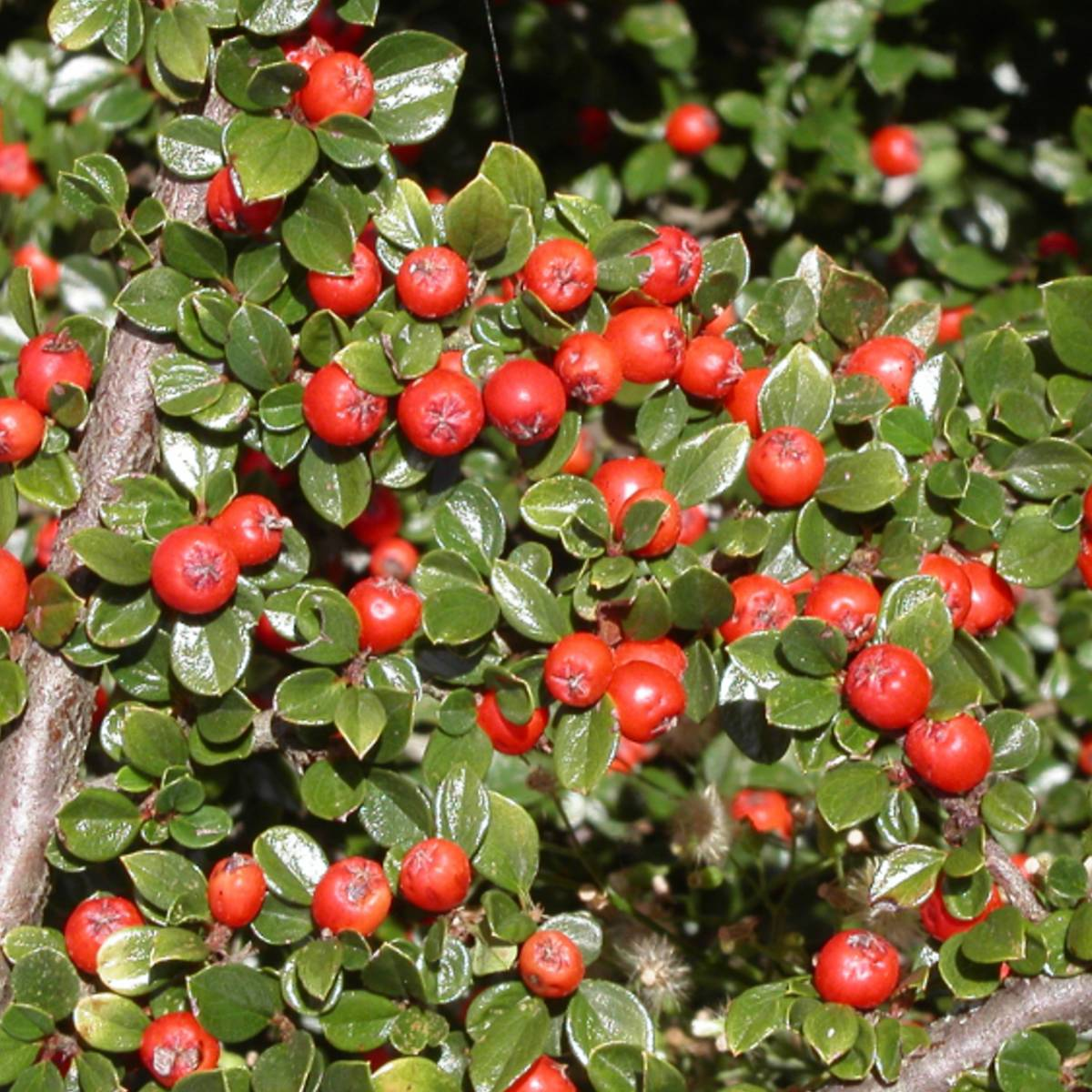 Cotoneaster dammeri major - Cotoneaster dammeri green carpet ...