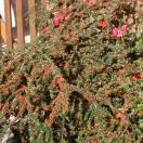 Cotoneaster dammeri Skogholm