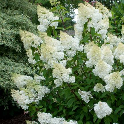 Hortensia paniculata Grandiflora