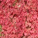Vigne Vierge quinquefolia Engelmannii