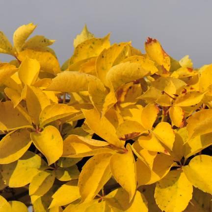 Vigne Vierge quinquefolia Yellow Wall®