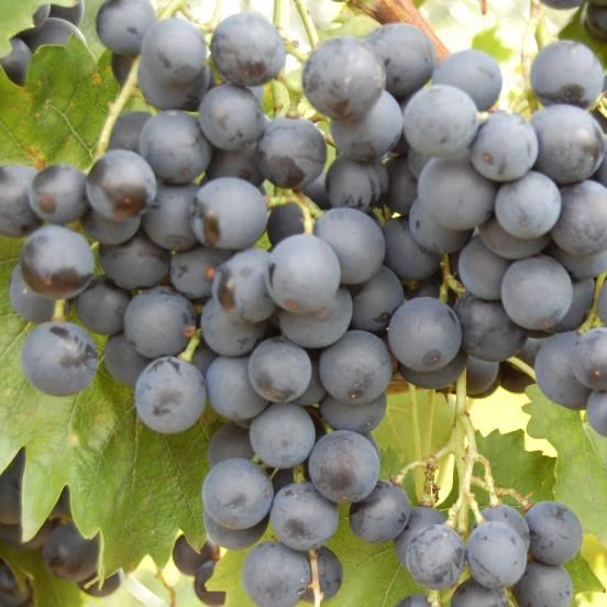 Vigne vinifera Alphonse Lavallée