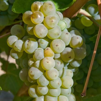Vigne vinifera Chasselas Doré