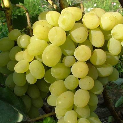 Vigne vinifera Italia