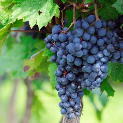 Vigne vinifera Muscat De Hambourg