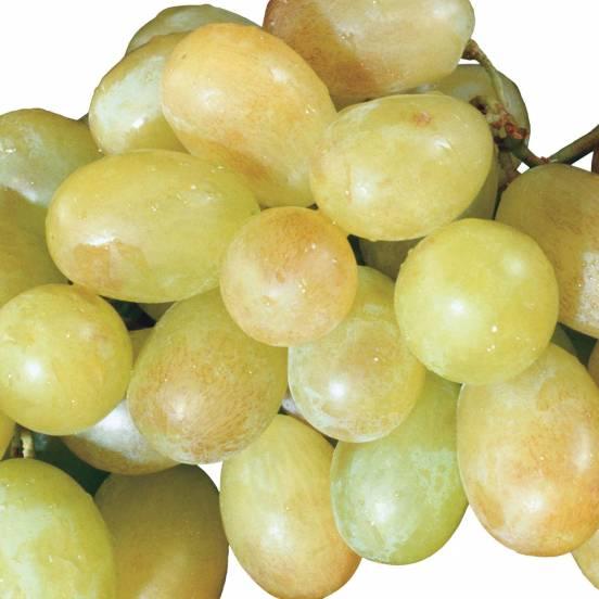 Vigne vinifera Muscat D'Alexandrie