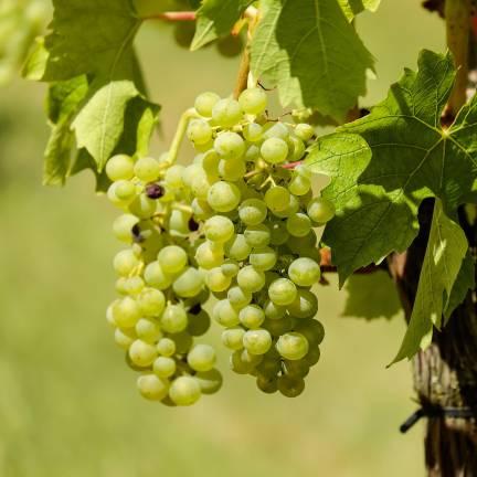 Vigne vinifera Ampelia® Amandin