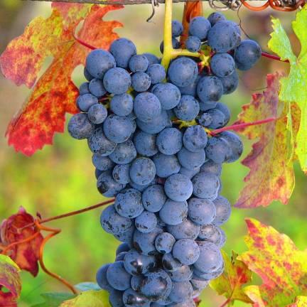 Vigne vinifera Ampelia® Aladin