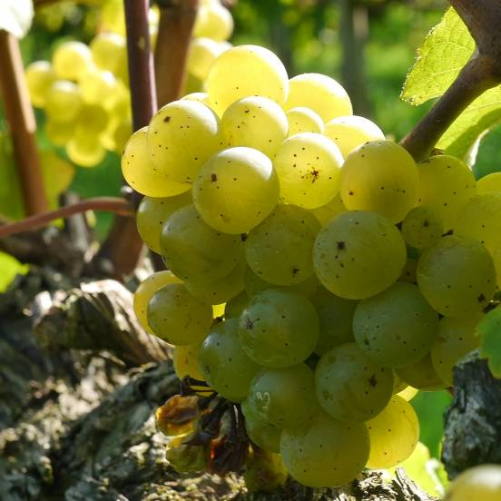 Vigne vinifera Ampelia® Candin