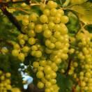 Vigne vinifera Dattier de Beyrouth