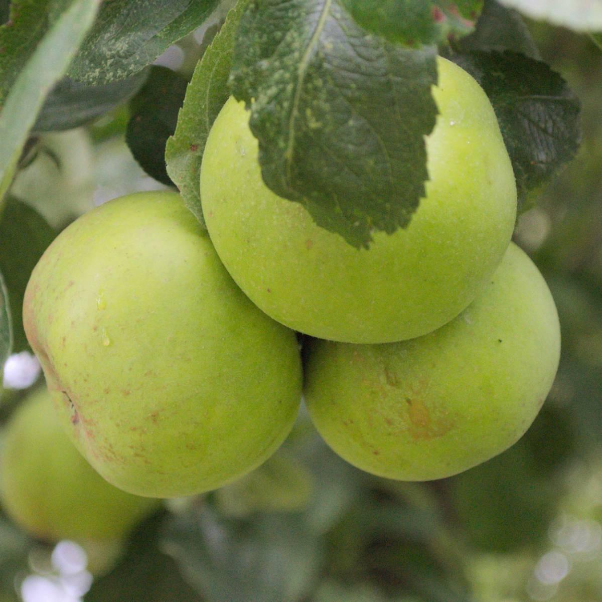 Pommier Calvile Blanc