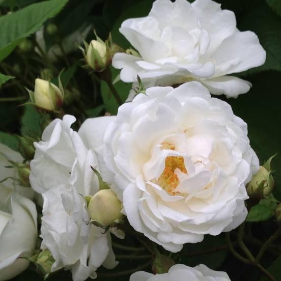 Rosier liane Banksiae Purezza