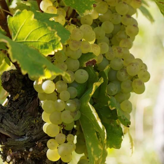 Vigne vinifera Centennial Seedless
