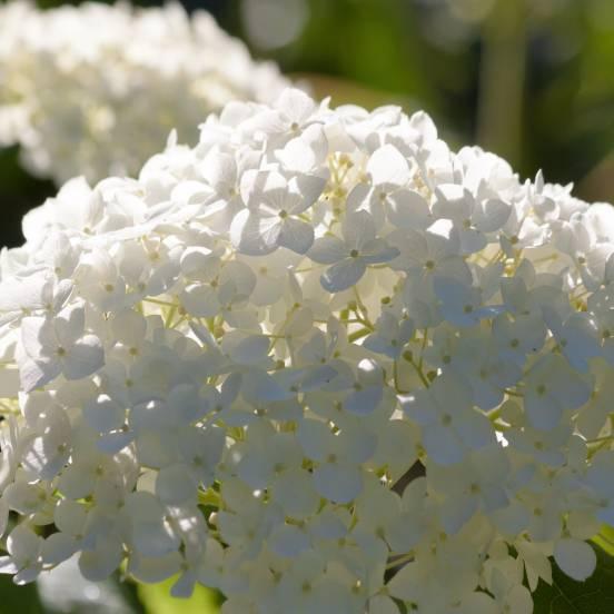 Hortensia paniculata Bobo®