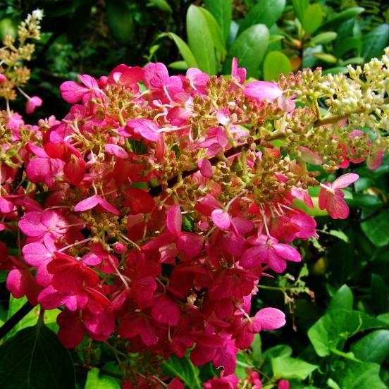 Hortensia paniculata Magical®Fire 'Bokraplume'