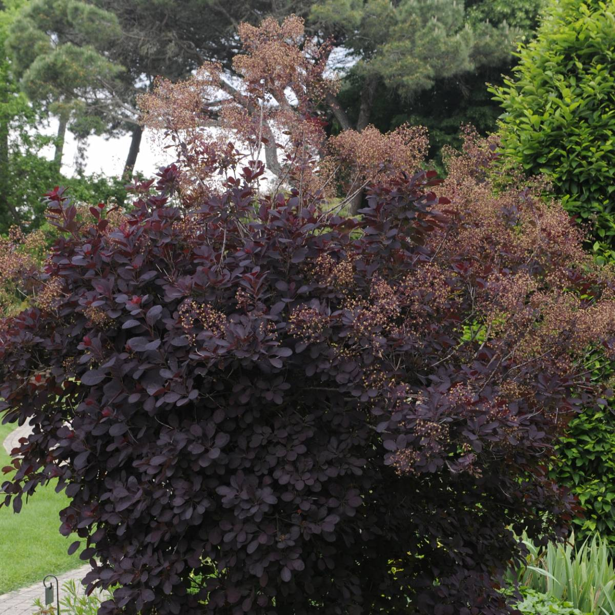arbre-a-perruque-coggygria-royal-purple.