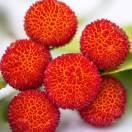 Arbousier, Arbre aux fraises unedo