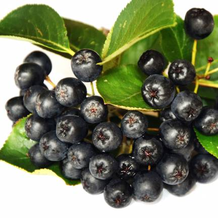 Aronie à feuilles d'arbousier arbutifolia Brilliant