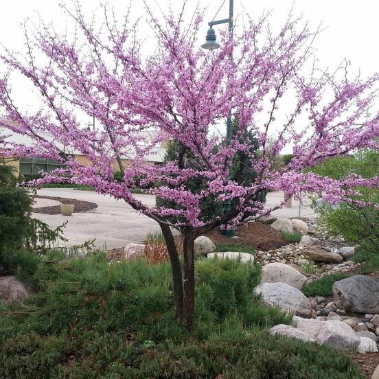 Cercis gainier du canada arbre de jud e canadensis - Arbre de judee photo ...
