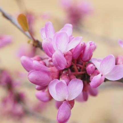 Cercis, Gainier, Arbre de Judée siliquastrum Lavender Twist