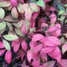 Bambou sacré domestica Blush Pink® 'Aka'