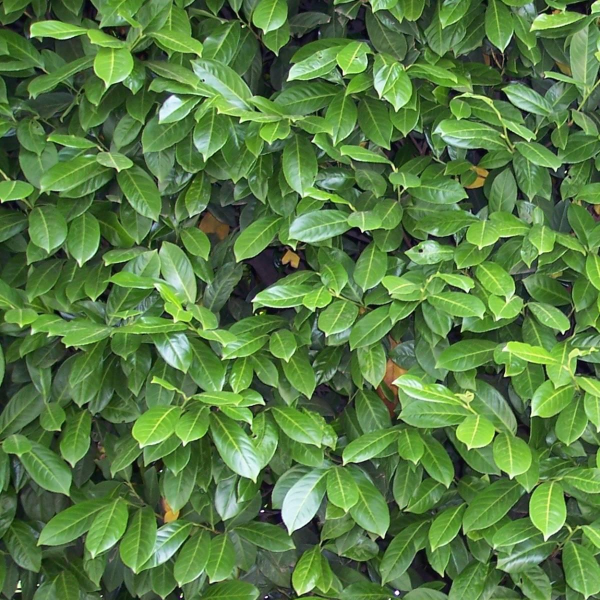 Laurier palme laurocerasus caucasica - Haie de laurier palme ...