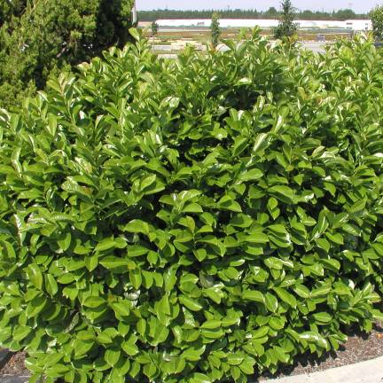 Laurier palme laurocerasus Etna® 'Anbri'