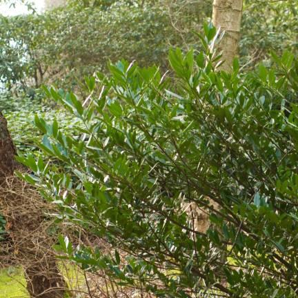 Laurier palme laurocerasus caucasica Dart's