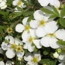 Potentille fruticosa Abbotswood