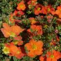 Potentille fruticosa Hopley's Orange