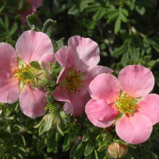 Potentille fruticosa Lovely Pink ® 'Pink Beauty'