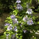 Clématite Blue Light®