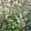 Elaeagnus x ebbingei Compacta