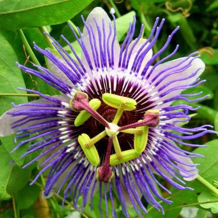 Passiflore caerulea Purple Haze