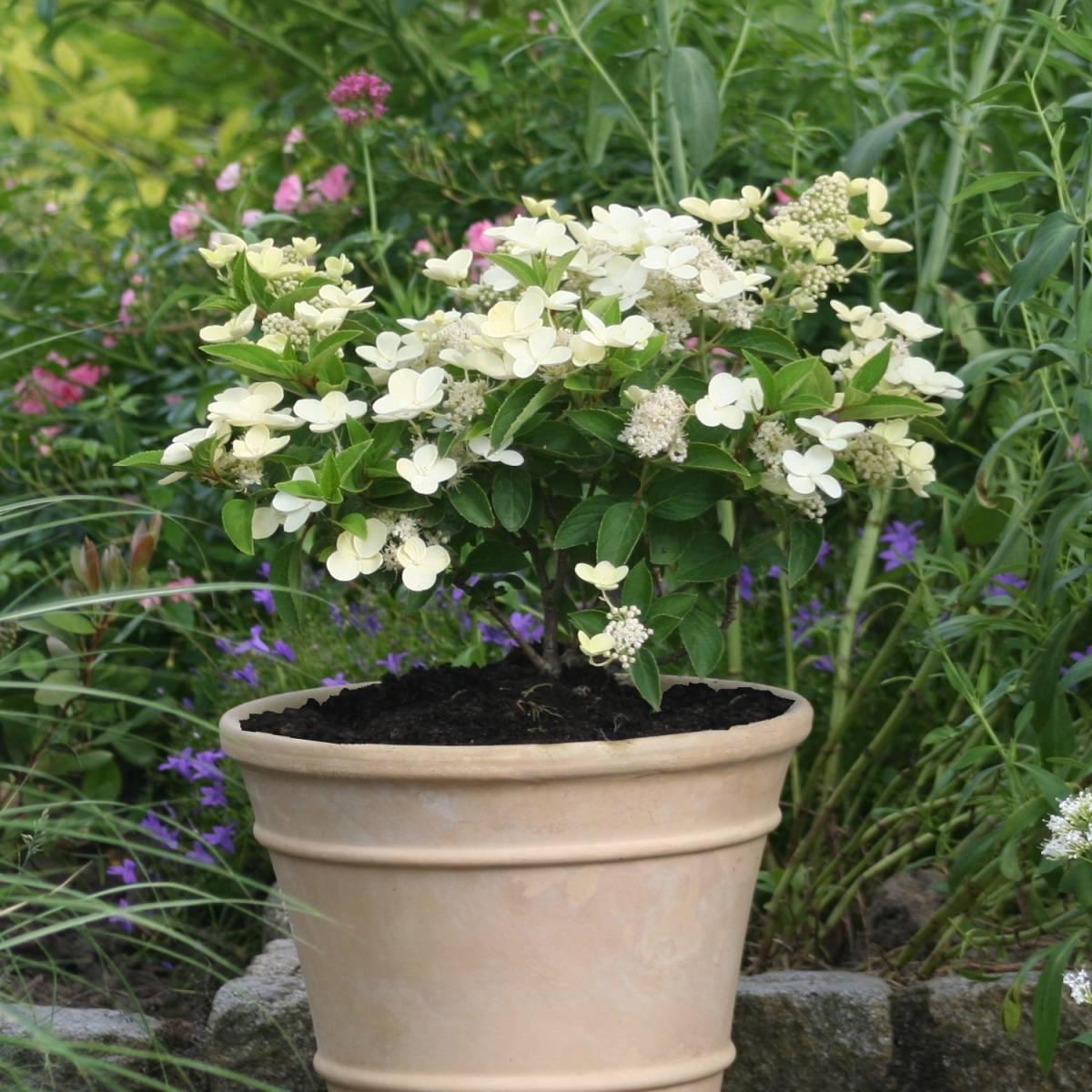 hortensia-paniculata-prim-white-dolprim-